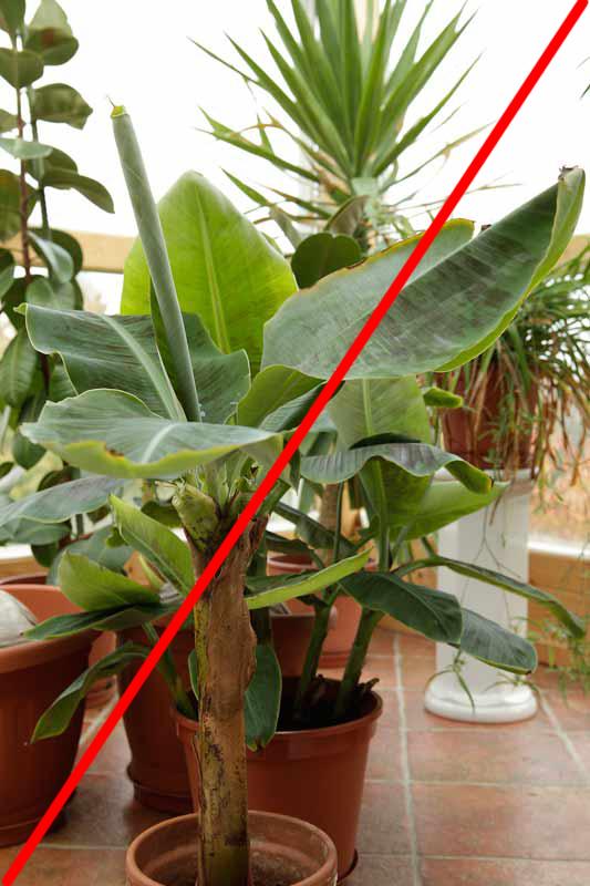 pflanzen in nanopics zuviele palmensamen mit daher sind einige palmen aus kreta abzugeben. Black Bedroom Furniture Sets. Home Design Ideas